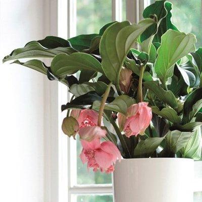 Medinilla magnifica and pot cover