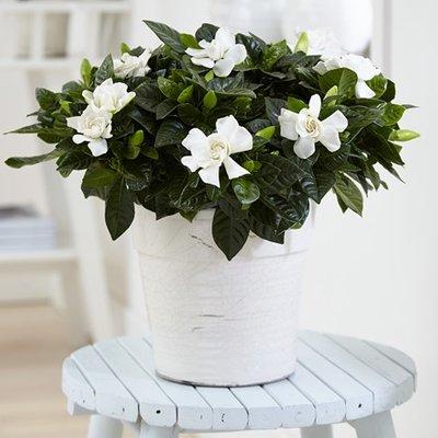 Gardenia jasminoides and pot cover