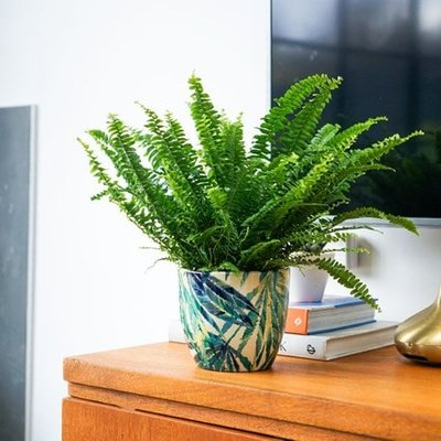 Nephrolepis exaltata Green Lady and pot cover