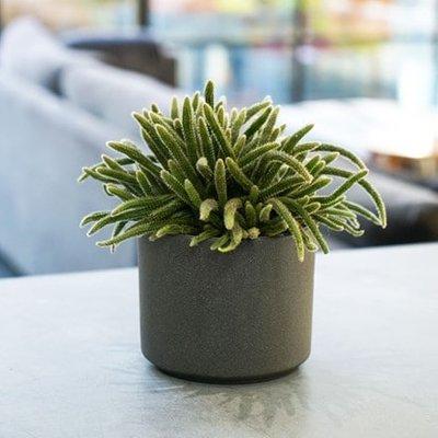 Rhipsalis baccifera subsp. horrida and pot cover combination