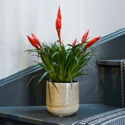 Vriesea Astrid and pot combination