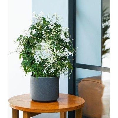 Jasminum polyanthum and pot cover