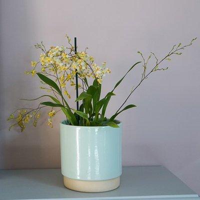 Oncidium Twinkle Jasmine and pot cover