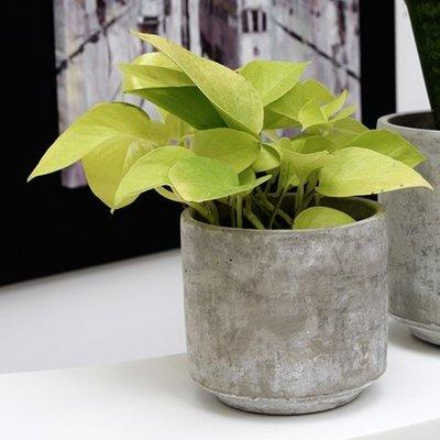 Epipremnum pinnatum Golden Pothos and pot cover