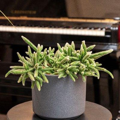Rhipsalis baccifera subsp. horrida and pot cover