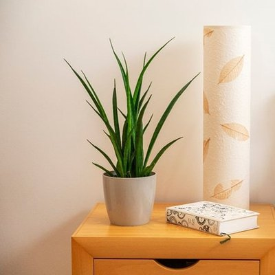 Sansevieria kirkii Friends and pot cover