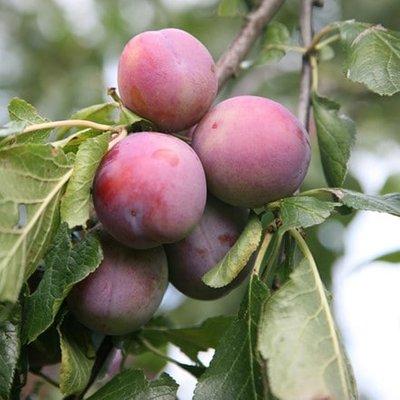 plum Marjorie