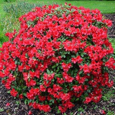 Rhododendron Baden-Baden
