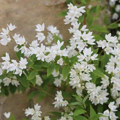 Deutzia gracilis Nikko