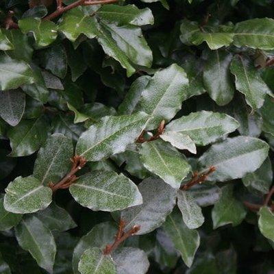 Elaeagnus submacrophylla