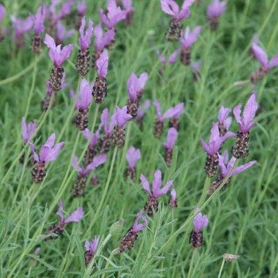 Lavandula pedunculata subsp. pedunculata