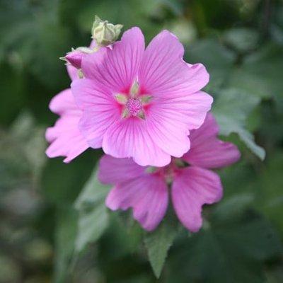 Lavatera clementii Rosea