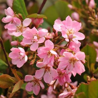 Rhaphiolepis indica Springtime (