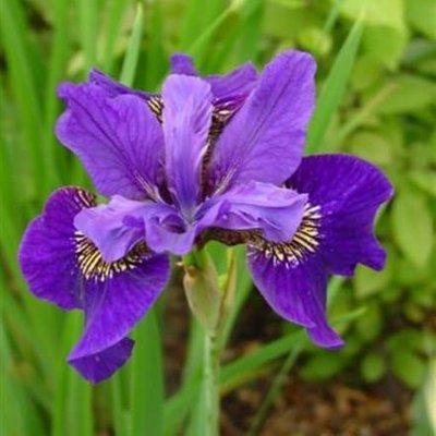 Iris Ruffled Velvet