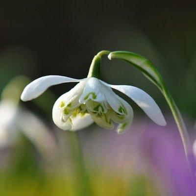 Galanthus nivalis f. pleniflorus Flore Pleno
