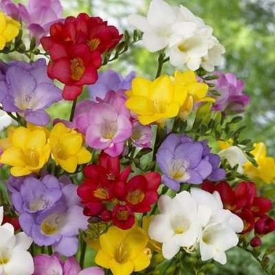 Freesia single flowering mixed