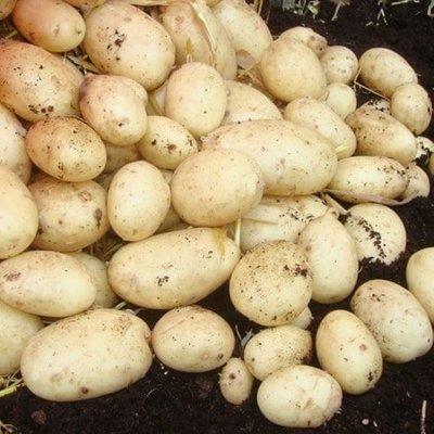 potato Maris Piper
