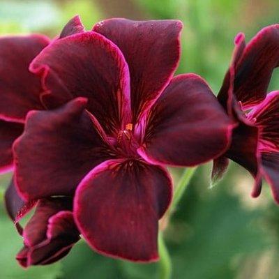 Pelargonium Lord Bute