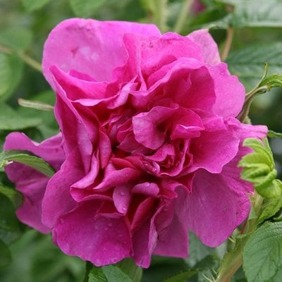 Rosa Roseraie de l
