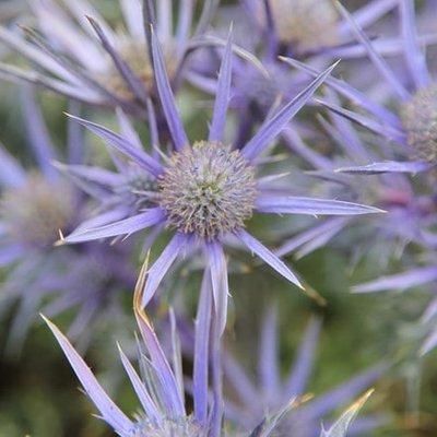 Eryngium bourgatii Picos Amethyst (