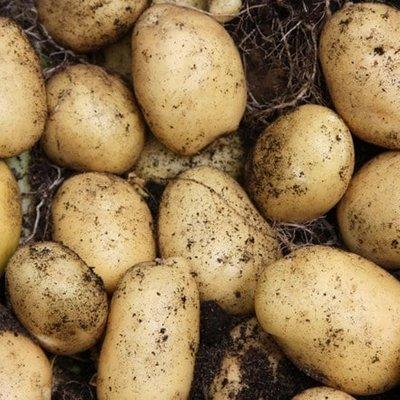 potato Lady Christl (PBR)