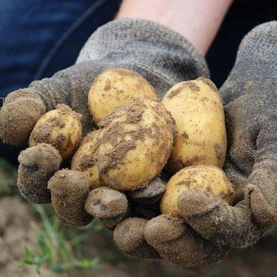 potato Arran Pilot