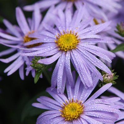 Aster frikartii M�nch