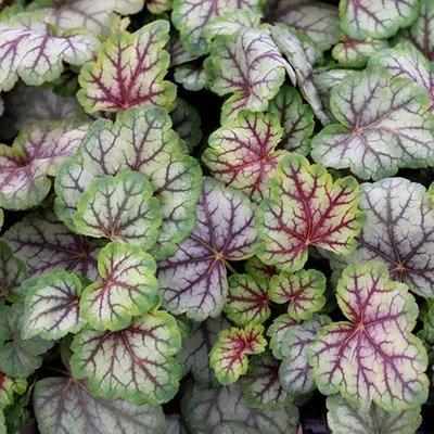 Heuchera Green Spice