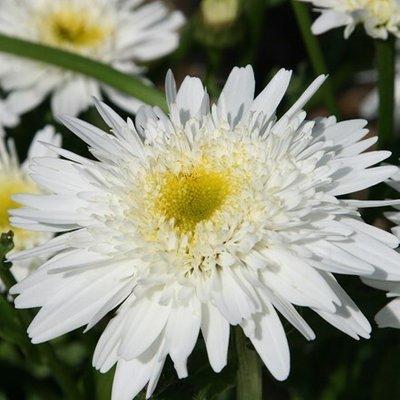 Leucanthemum superbum Wirral Supreme