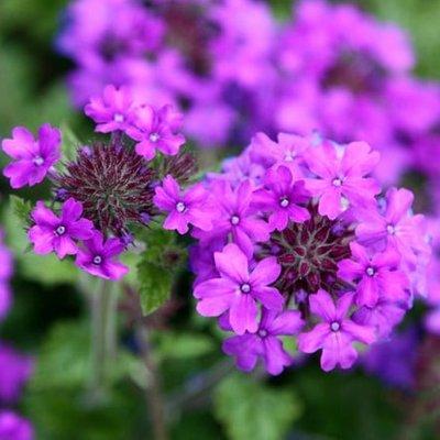 Glandularia Homestead Purple