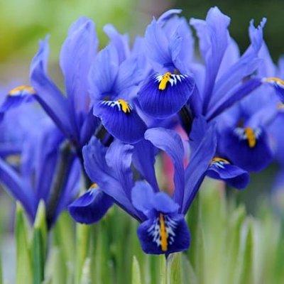 Iris Harmony (Reticulata)