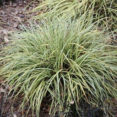 Carex oshimensis Evergold