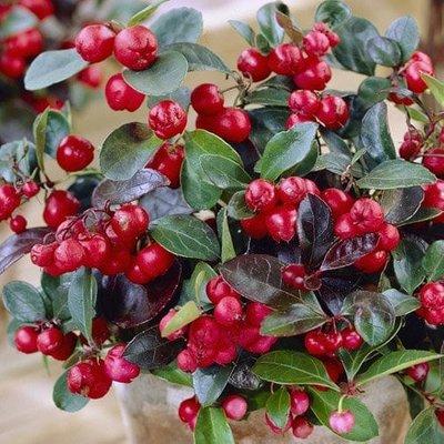 Gaultheria procumbens Big Berry (��Gaubi��) (PBR)