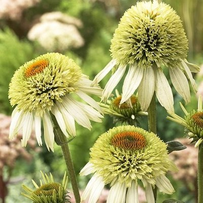 Echinacea purpurea Coconut Lime (PBR) (Cone-fections Series)
