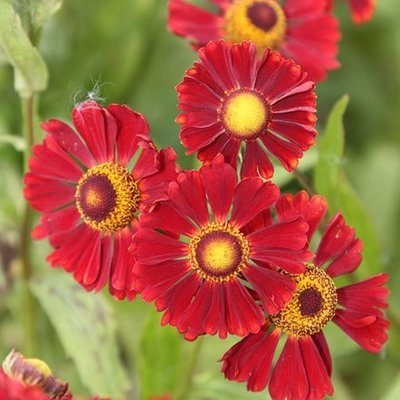 Helenium Ruby Tuesday