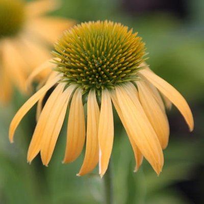 Echinacea Harvest Moon (PBR) (Big Sky Series)