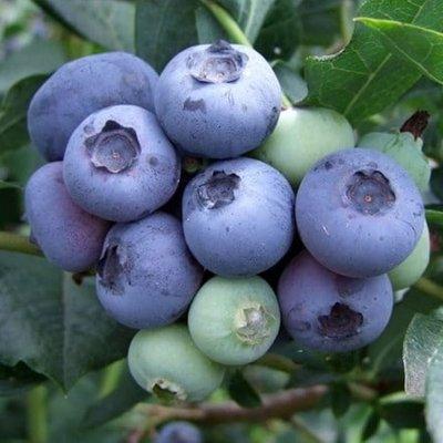 blueberry Duke