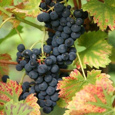 grape Regent (PBR)