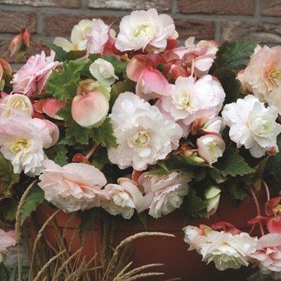 Begonia Mother