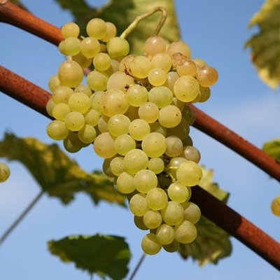 grape Ph�nix