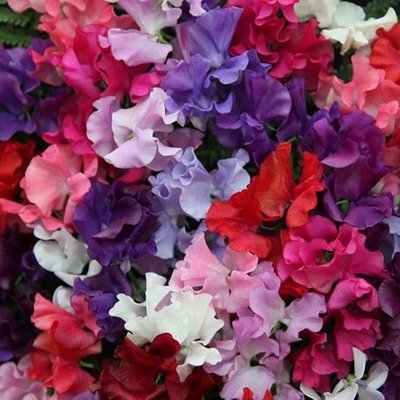 Lathyrus odoratus Spencer Waved Mix