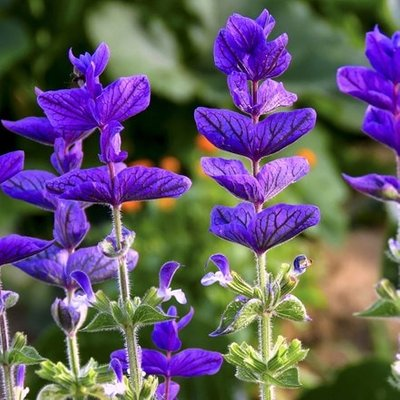 Salvia viridis blue-flowered