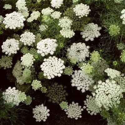 Visnaga daucoides Green Mist