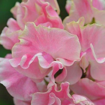 Lathyrus odoratus Mrs Bernard Jones