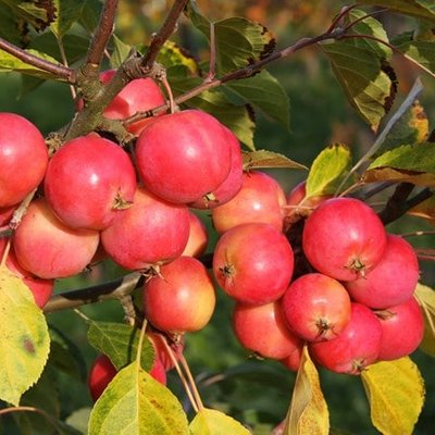 Malus Jelly King (