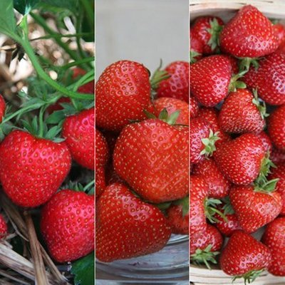 Strawberry collection