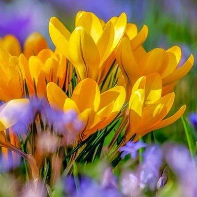 Crocus luteus Golden Yellow