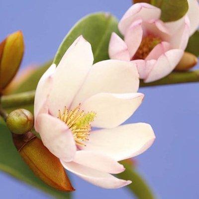 Magnolia Fairy Blush (