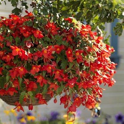 Begonia intermedia Bertinii