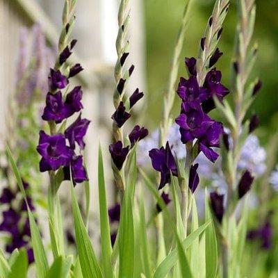 Gladiolus Purple Mate